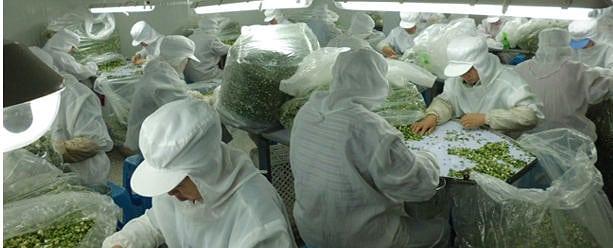 Dried Garlic Factory in Jiangsu